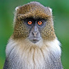 Sykes Monkey