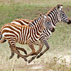 Young Zebras running in the Western Serengeti.